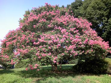 200921駒沢公園ピンク木