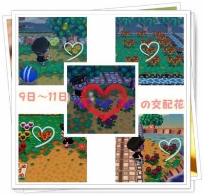 9日~11日の交配花