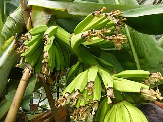 banana2gou1003 1