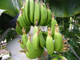 banana0720_20080827120131.jpg
