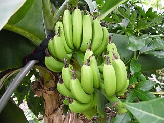 banana0827.jpg