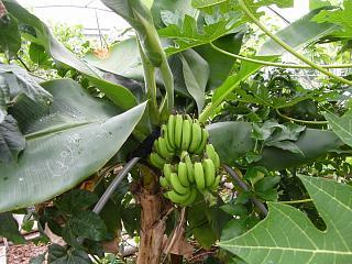 banana1gou0819.jpg