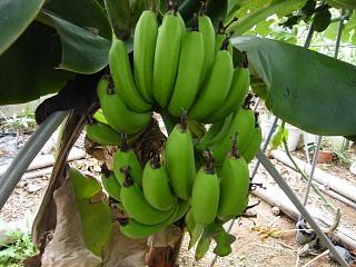banana1gou0923.jpg