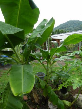 banana3gou0819_2_convert_20080819121408.jpg