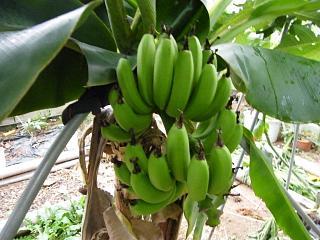 bananaitigou0929.jpg