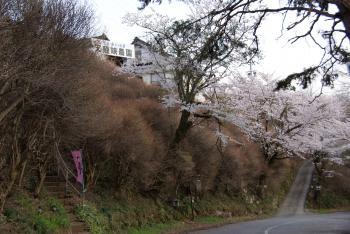 桜(駐車場)