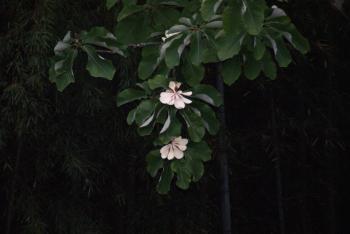 ほうの花2