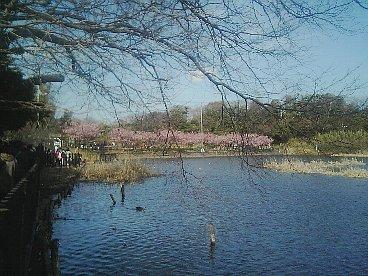 池 河津桜