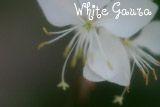 WhiteGaura