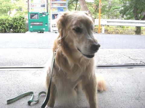 タイガくん(1)11歳 大阪府