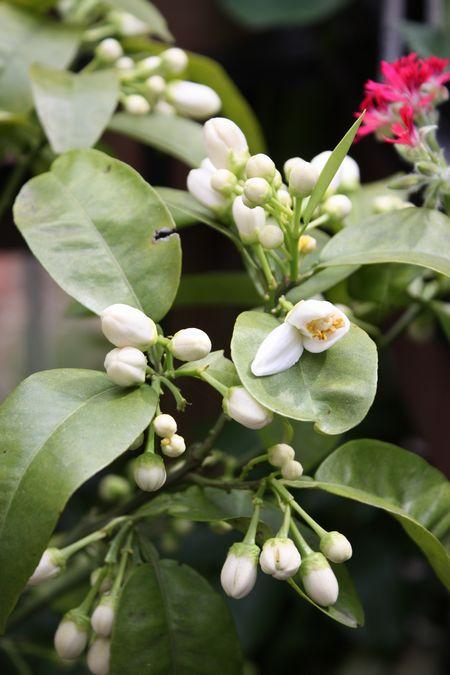 グレープフルーツの花