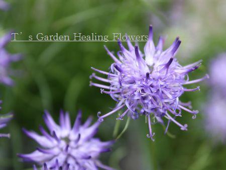 T's Garden Healing Flowers‐玉シャジン
