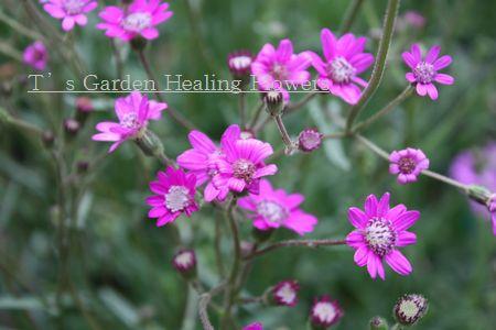 T's Garden Healing Flowers‐セネシオ・ポリオドン