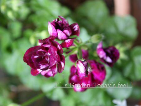 T's Garden Healing Flowers‐アイビーゼラ・ピカソ