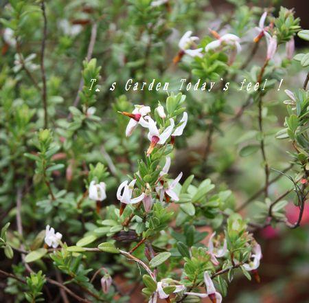 T's Garden Healing Flowers‐ツルコケモモ