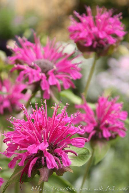 T's Garden Healing Flowers‐モナルダパープル