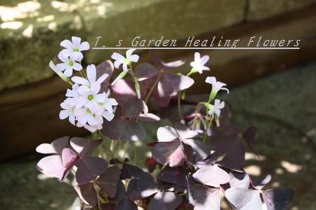 T's Garden Healing Flowers‐オキザリス・紫の舞