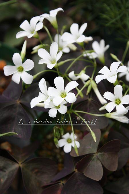 T's Garden Healing Flowers‐オキザリス・トリアングラリス(白花)