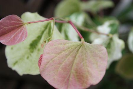 T's Garden Healing Flowers‐アメリカハナズオウ・