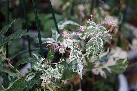 T's Garden Healing Flowers‐野ブドウ斑入り