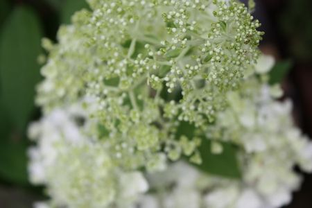 T's Garden Healing Flowers‐ピラミッドアジサイ