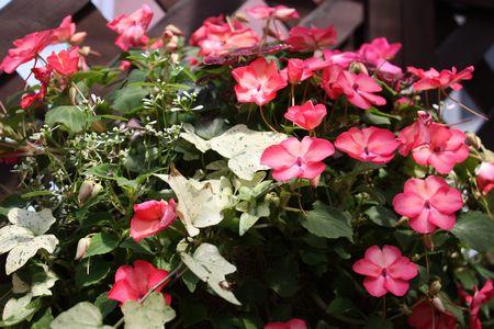 T's Garden Healing Flowers‐インパチェンスのハンギング