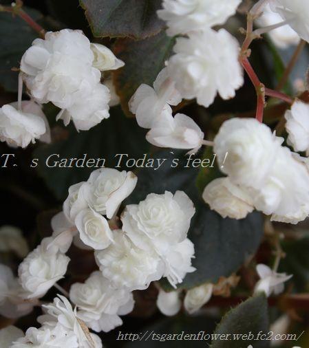 T's Garden Healing Flowers‐ベコニア・ダブレット