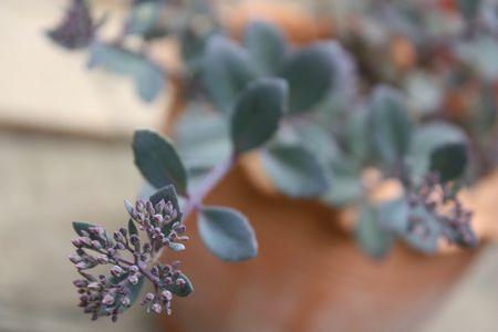 T's Garden Healing Flowers‐カラスミセバヤ