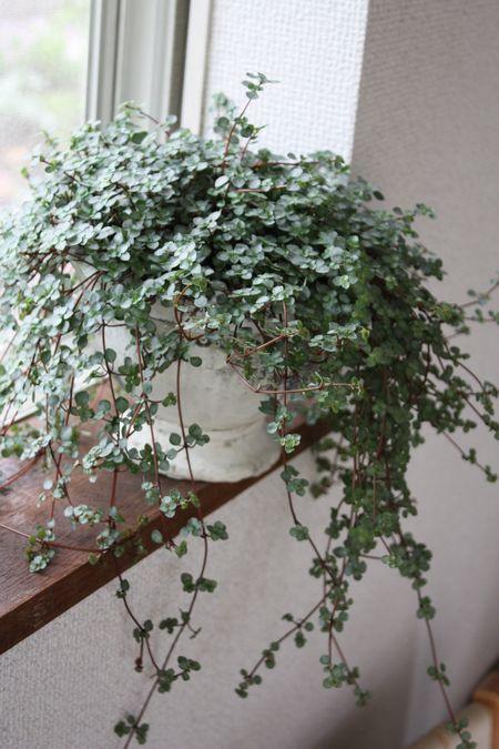 T's Garden Healing Flowers‐ピレア・グレイジー
