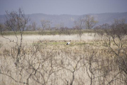 タンチョウヅル@釧路湿原