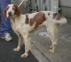 in080924-022008年9月24日 2008年9月30日 富里市根古名 セッター 茶白 メス 中 なし 老犬