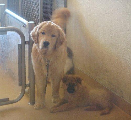 0746ヶ月ゴールデン子犬
