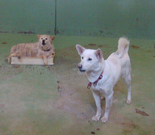 111白い犬