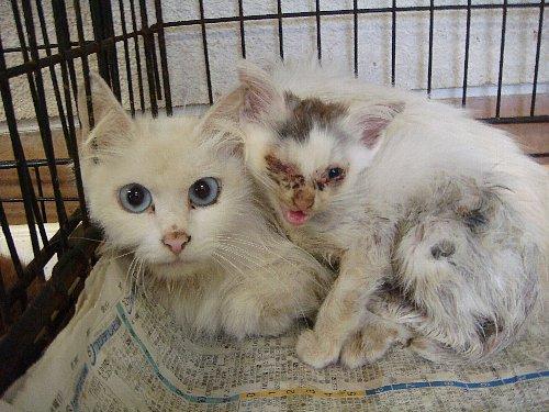 013子猫とペルシャ