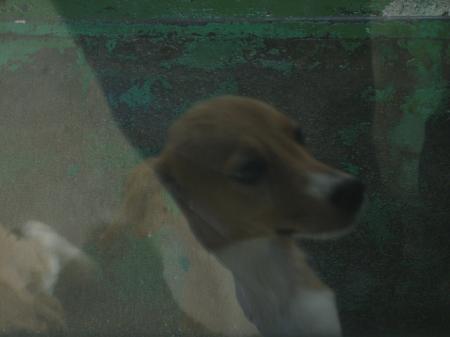 子犬 ビーグルmix