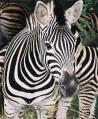 zebra-picture.jpg