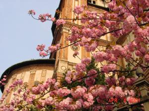 ミラノの桜(写真)