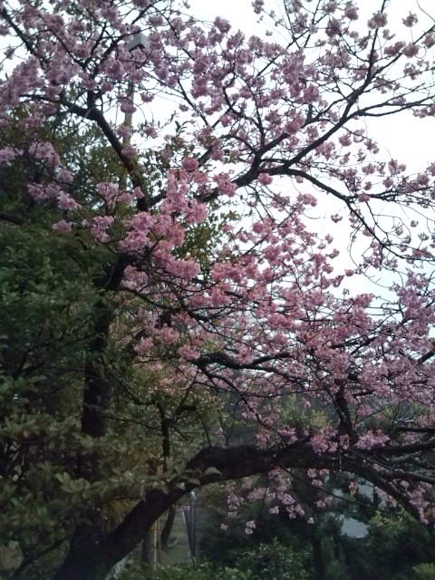 ピンクの梅がきれいです