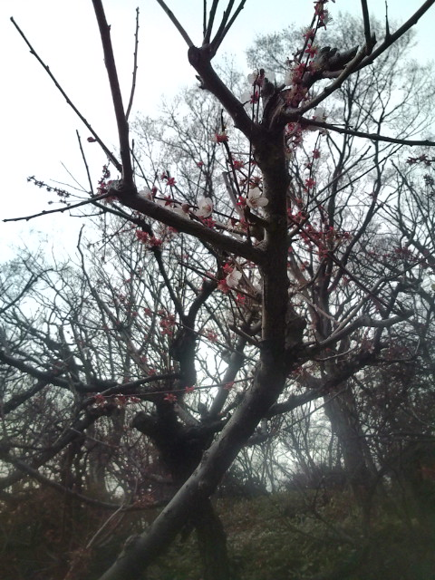 井の頭公園梅