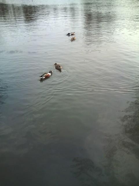 かもが泳ぐ