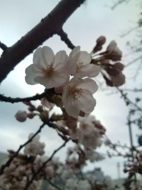 20100328の小田原桜開花の様子