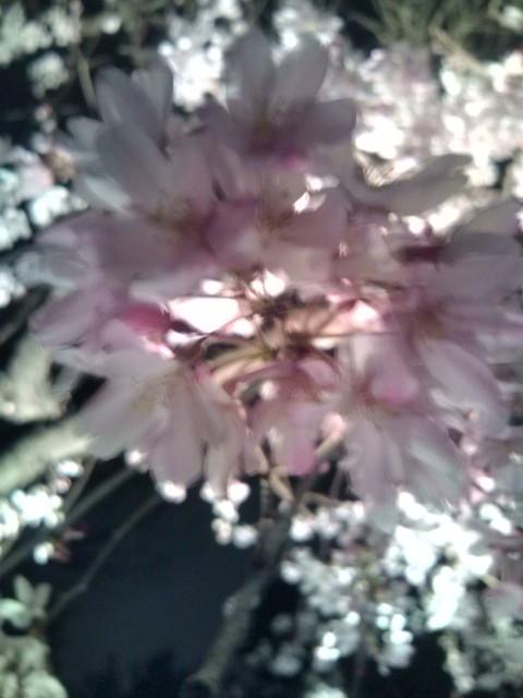 夜桜20100331⑤