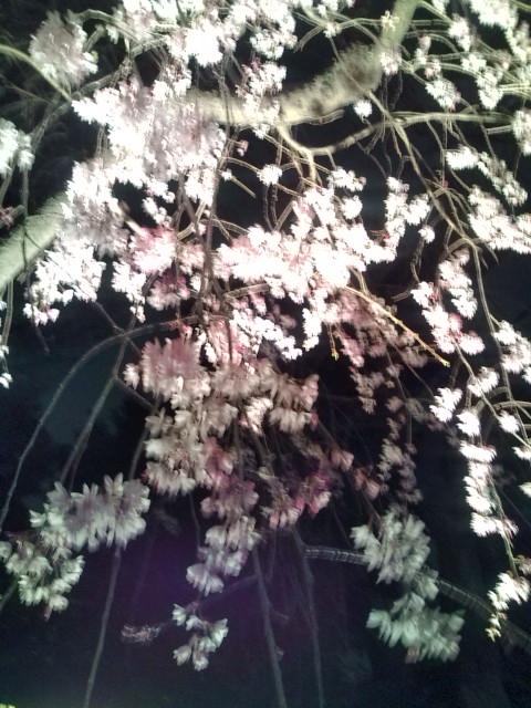夜桜20100331④