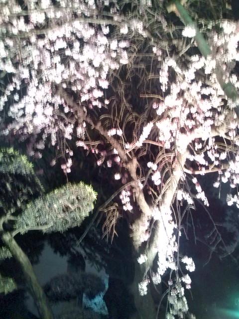 夜桜20100331③