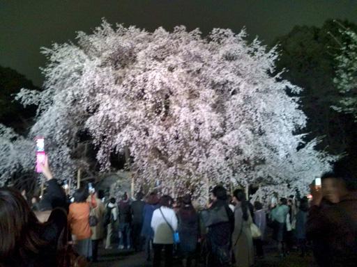 六義園のしだれ桜3