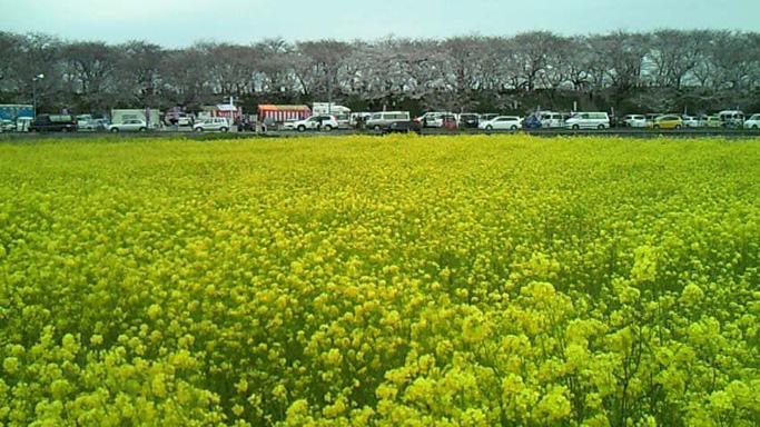 権現堂菜の花&桜