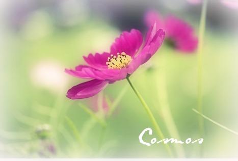 コスモス 赤紫