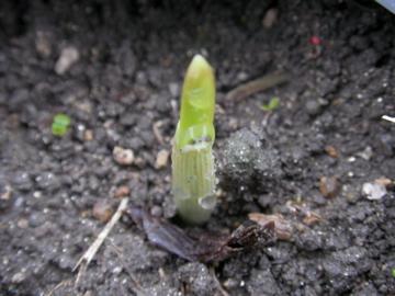 ニンニクの芽