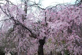 花見2009 071
