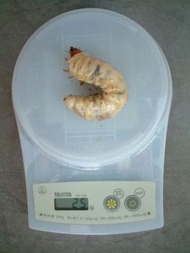 タイワンWW-17体重